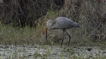 cobra : Great Blue Heron eating a snake