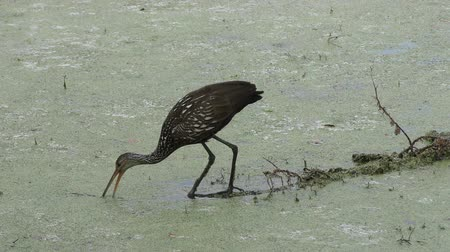 salyangoz : Limpkin looking for snail in Florida wetlands