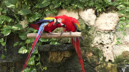 papuga : Scarlet Macaw, the red parrots perching Wideo