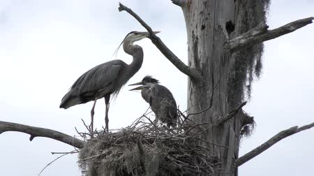 hnízdo : Great Blue Herons in the Nest. Adult and a Baby