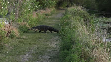 trace : Amerikaanse Alligator die een sleep in wetlands kruist Stockvideo