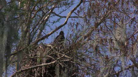 sas : Bald Eagle chick in a nest