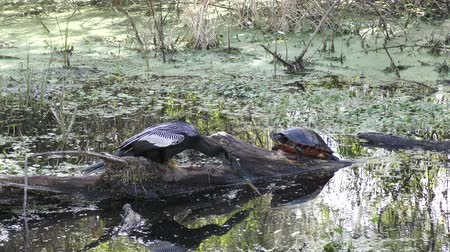 тыкать : anhinga pokes a turtle in wetlands