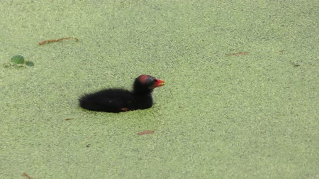 mokřady : Common Gallinule feeds its chick in swamp