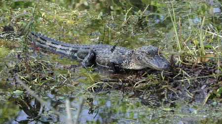 mokřady : Small American Alligator in swamp