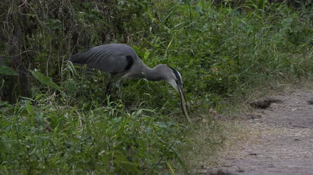 réptil : Great Blue Heron trying to swallow a snake