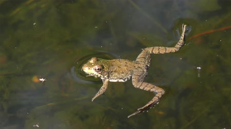 toad : common water frog in a pond