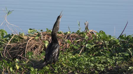 mokřady : anhinga downing a fish in swamp