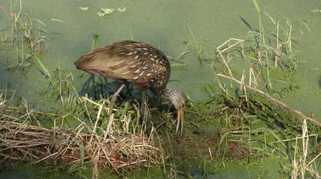 salyangoz : limpkin feeds on apple snails
