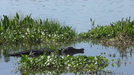 mokřady : large american alligator in a lake