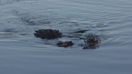 çiftleşme : large american alligators mating