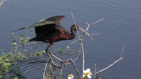 dengelemek : Glossy Ibis perches in the wind