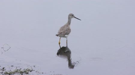 greater : Greater Yellowlegs and Lesser Yellowlegs in the pond