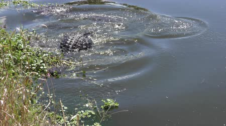 хищник : alligator jumps after a fish in a lake