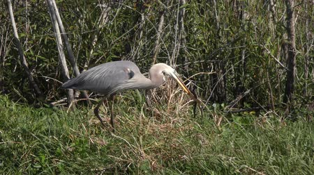 cobra : great blue heron downing a snake