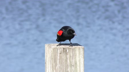 çiftleşme : Red-Winged Blackbird mating call