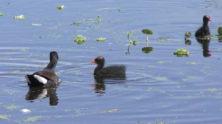 mokřady : Common Gallinule with its chicks in a pond