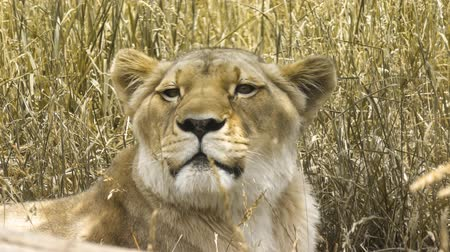 kotki : female lion resting in a field
