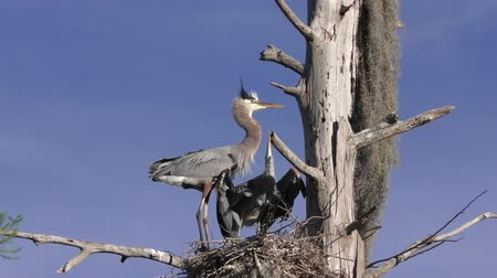 hnízdo : Great Blue herons in a nest