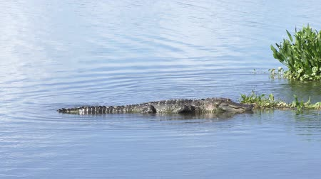 took : alligator took the spot for basking Stock Footage