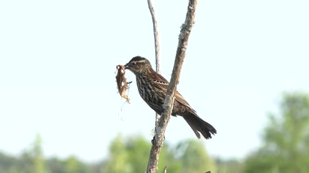 ave canora : Red-Winged Blackbird female with some nesting material