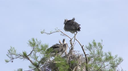 hnízdo : young Great blue herons in a nest