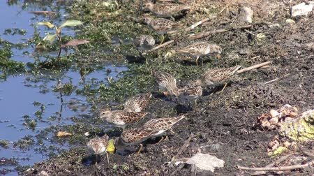 en az : Least Sandpiper birds near lake