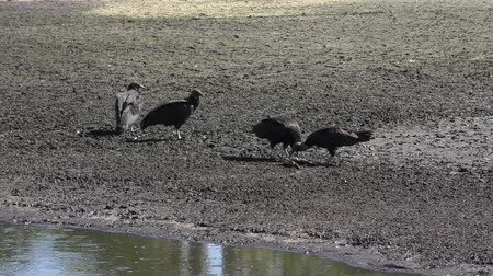 kurutma : Black Vultures feed on dead fish near drying pond