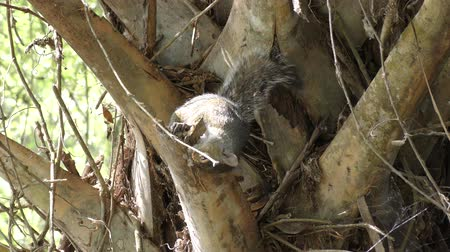 palm squirrel : squirrel gnaws a palm tree branch Stock Footage