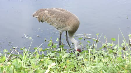 sandhill crane : Sandhill Crane feeds near lake