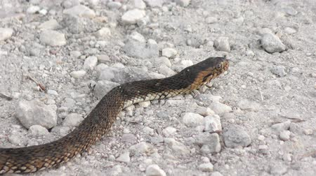 cobra : Banded water snake crossing road