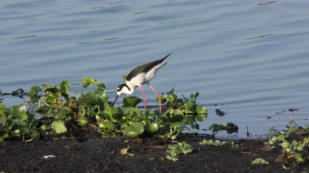 long necked : Black-necked Stilt in a lake Stock Footage
