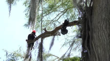 mohás : Pileated Woodpeckers on a branch