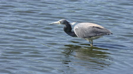 small heron : Tricolored Heron feeds on fish
