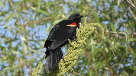 ave canora : Red-Winged Blackbird mating call