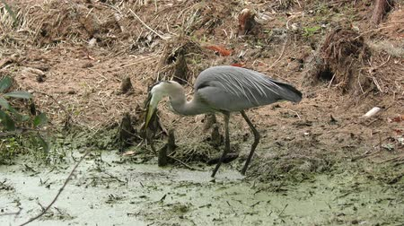 toad : great blue heron swallows a large frog
