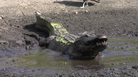 kurutma : alligator swallows fish in the drying up pond