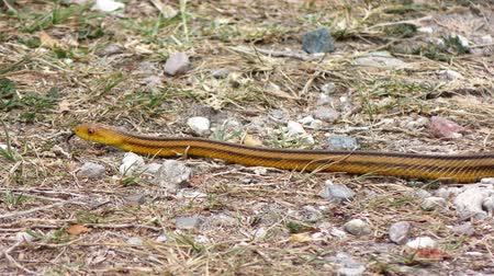 cobra : Yellow Rat Snake slithers