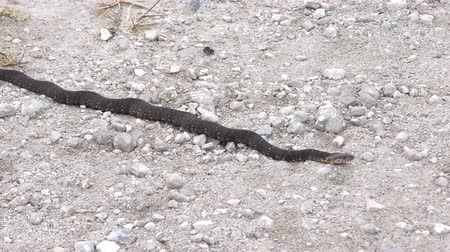 cobra : Banded Water Snake goes away