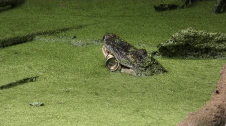 lixeira : alligator eating an Aluminum can in Florida swamp
