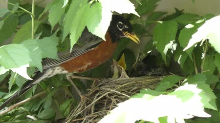 hnízdo : american robin parents feed their chicks in a nest