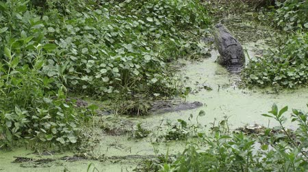 зубы : male and female alligators during breeding season