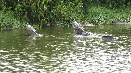çiftleşme : two large alligators growling in a lake Stok Video