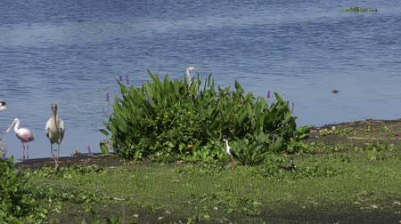 hnízdo : Black-necked Stilt protects its nest