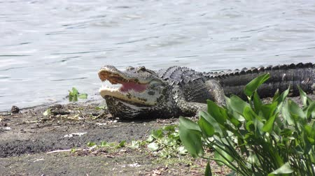 sunning : alligator resting near water Stock Footage