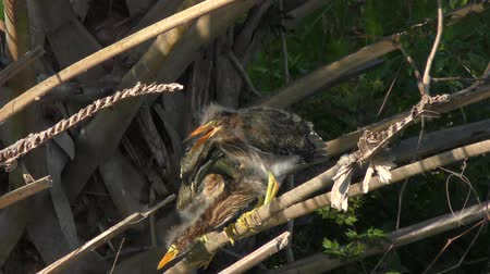 small heron : green heron chicks perching on a palm tree