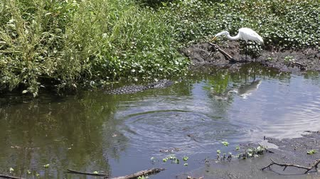 small heron : alligator protects her babies from egret