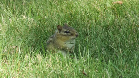 roedor : chipmunk in the grass