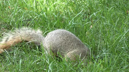 roedor : squirrel feeds on seeds in the grass