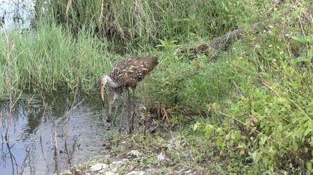 salyangoz : adult and a baby limpkins feed in a swamp Stok Video